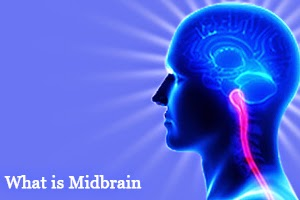 What is Midbrain
